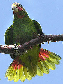 210-cuban-parrot-pat-barry