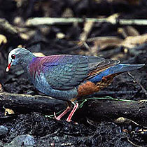 210-grey_fronted_quail_dove3