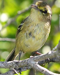 210-thick_billed