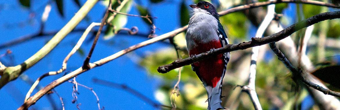 The tocororo or Cuban trogon is the island's national bird. Its white, red and blue feathers match those of the Republic's flag. It exists only in Cuba.